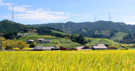 京都の茶畑と田園